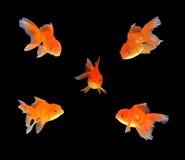 Guld- fisksvartbakgrund Royaltyfri Foto