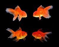 Guld- fisksvartbakgrund royaltyfri bild