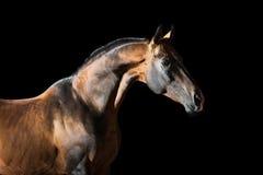 Guld- fjärdAkhal-teke häst på den mörka bakgrunden royaltyfri foto