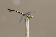 Guld- Flangetail - stående av sländan Arkivbilder