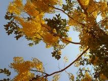 Guld- flodblomma Royaltyfria Foton