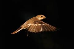 Guld- flyg av den Pied flugsnapparen Royaltyfri Foto