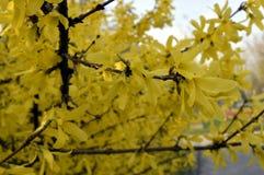 Guld- forsythia Royaltyfria Bilder