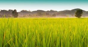 Guld- färg för risfält Fotografering för Bildbyråer