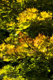 Guld- fullmånelönnträd arkivbild