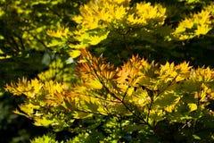 Guld- fullmånelönnträd royaltyfria foton