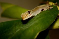 Guld- gecko på bladet Royaltyfri Fotografi