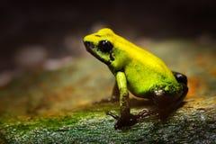 Guld- giftgroda, Phyllobates terribilis, gul giftgroda i vändkretsnatur Liten amasongroda i naturlivsmiljö Djurlivsce Royaltyfria Foton