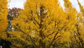 Guld- ginkgoträd Royaltyfria Foton