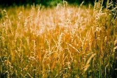 guld- gräs Royaltyfria Foton
