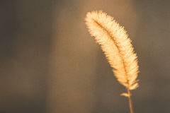 Guld- gräs Royaltyfri Bild