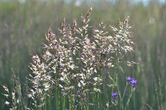 Guld- gräs Arkivfoton