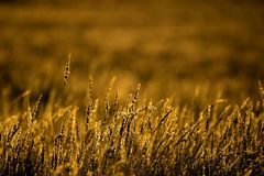 guld- gräs Royaltyfri Fotografi