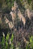 Guld- gräs Arkivbild