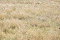 Guld- gräs av en prärie royaltyfria foton