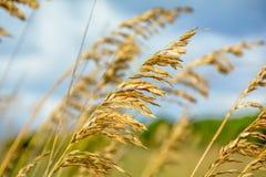 Guld- gräs av sommar Arkivfoton