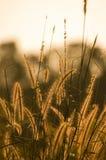 guld- gräs för closeupfält Arkivfoto