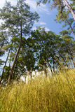 Guld- gräs med det högväxta trädet och blå himmel i bakgrund Arkivfoto