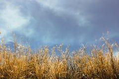 Guld- gräs på blå himmel Fotografering för Bildbyråer