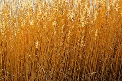 Guld- gräs som är windswept i solen royaltyfri fotografi