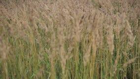 Guld- gräs som blåser i brisen lager videofilmer
