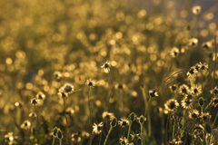 Guld- gräsblommor royaltyfria foton