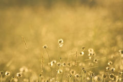 Guld- gräsblommor arkivbilder
