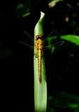 Guld- gräshoppa Royaltyfri Fotografi
