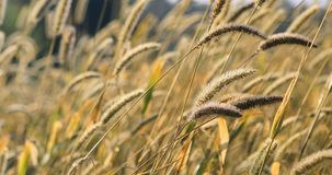 Guld- gräshuvud i en äng 4K arkivfilmer