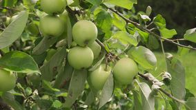 Guld--gräsplan äpplen som är mogna på filial i sol i fruktträdgård lager videofilmer