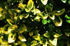 Guld & gräsplan för ` för ` n för Euonymusfortuneismaragd nyanserade guld- gul lövverk Royaltyfri Foto