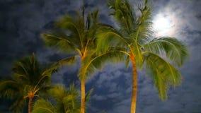 Guld- gröna palmträd för en coconun som svänger filialer i vinden arkivfilmer