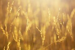 Guld- grova spikar i ängen i morgonsolen Royaltyfri Fotografi