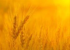 Guld- grova spikar i solnedgångljus Royaltyfria Bilder