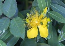 Guld- gul blom, hypericumcalycinum Arkivbilder