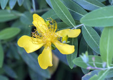 Guld- gul blom, hypericumcalycinum Arkivfoton