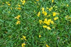 Guld- gul blomma på gräs Fotografering för Bildbyråer