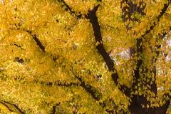 Guld- gula Ginkgoträd under höstsäsong arkivfoto