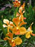 Guld- gula orkidér Arkivbild