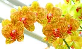 Guld- gula phalaenopsisorkidér royaltyfri bild