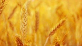Guld- gult vete gå i ax i det jordbruks- kultiverade fältet, slut upp med den selektiva fokusen arkivfilmer