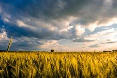 Guld- gult vetefält i varmt solsken under dramatisk himmel, nya vibrerande färger Royaltyfri Bild