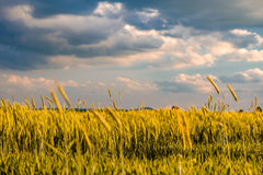 Guld- gult vetefält i varmt solsken under dramatisk himmel, nya vibrerande färger arkivbilder