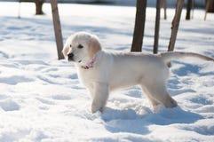 Guld- hämta valpen i vinter Fotografering för Bildbyråer