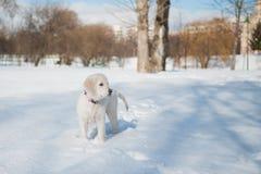 Guld- hämta valpen i vinter Arkivbilder