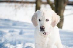 Guld- hämta valpen i vinter Arkivfoton