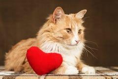 Guld- härlig katt som framåt ser, nära den lilla röda flotta hjärtaleksaken Royaltyfri Bild