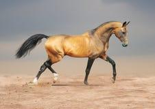 guld- hästteke för akhal dun arkivfoto