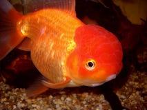 Guld- hålla ögonen på för fisk Fotografering för Bildbyråer