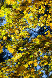 Guld- höst Royaltyfria Foton